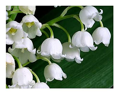 SPECIAL: 20 Large, Plump Lily of the Valley Bare Root Plant Pips - Fresh from Holland - Eager to Bloom next May!