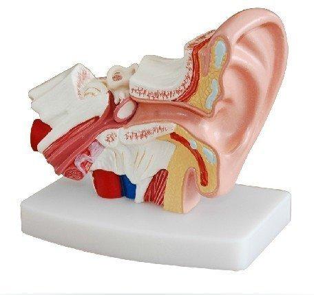 ear anatomy model - 6