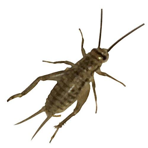 1000 Live Acheta Crickets (Medium (1/2