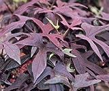 Romence Gardens, Ipomoea batatas 'Blackie' (Sweet Potato Vine)