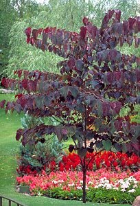 Amazon Com Forest Pansy Redbud Tree 2 Year Old 4 5 Ft Tall