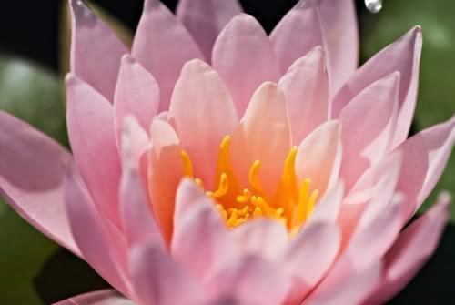 10 PINK LOTUS Water Lily Pad Nymphaea Sp Pond Flower Seeds *Comb S/H by Seedville