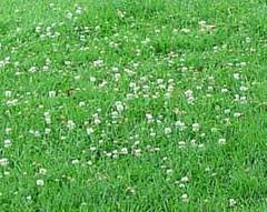 The Dirty Gardener Sun and Shade Lawn Seed with Clover, 5 Pounds