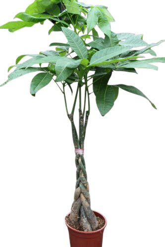 Indoor Plant -House or Office Plant - Pachira Aquatica - Money Plant- Approx 55cm Tall with Braided Stem Olive Grove