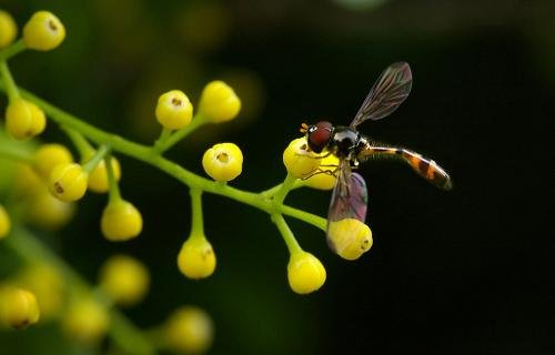 chiu' garden Cutting 'Chinese Perfume' Aglaia Odorata Lour