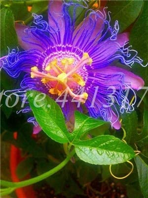 300 PCS Exotic Passion Fruit Bonsai Passiflora Potted Plant Flower Home Garden