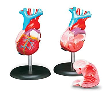 Budget Life-size Heart Model #CH7 by Anatomical Chart Co: Science ...