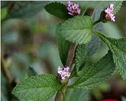1 Planta Viva De Poleo De Mentha Pulegium Pennyroya Tmb103 Jardín Y Exteriores