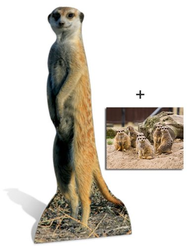 Meerkat - Wildlife/Animal Large Cardboard Cutout / Standee / Standup - Includes 8x10 (20x25cm) Star Photo