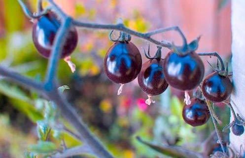 Fresh Indigo Rose Purple/Blue Tomato Organic 25 Seeds