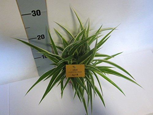 Chlorophytum com Ocean Houseplant. Unusual Spider Plant in a 12cm Pot Perfect Plants
