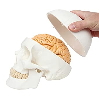 Axis scientific classic 3 part human skull anatomy model with axis scientific classic 3 part human skull anatomy model with removable human brain model brain ccuart Image collections
