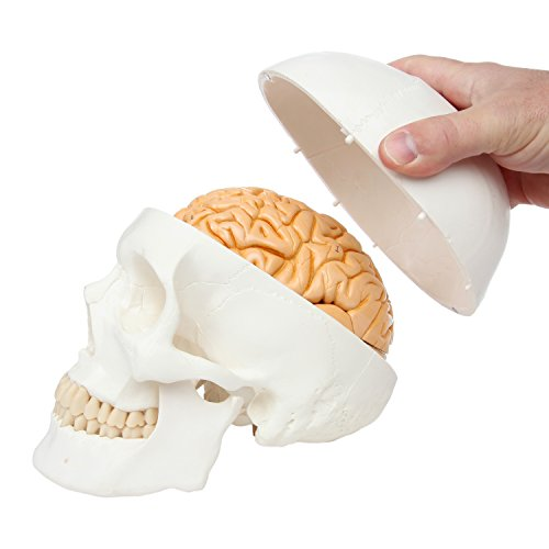 Axis Scientific Classic 3 Part Human Skull Anatomy Model with Removable Human Brain Model, Brain Dissects Into 8 Parts, Includes Colorful Study Guide and a 3 Year Warranty (Together Skull Model)