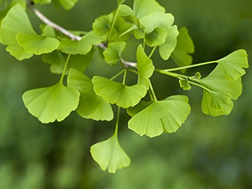 Grow Your Own Fruit Trees and Berries! ! (Ginkgo)
