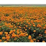 Bobby-Seeds Tagetessamen Sierra Orange, hohe Studentenblume Portion