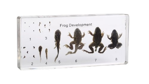 Frog Life Cycle Acrylic Block - Kid Science Frog