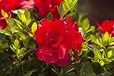 Encore Azalea 1 Gallon Autumn Bonfire, Red Re-Blooming Evergreen Shrub