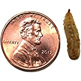 Phoenix Worms (Large 100 Count)