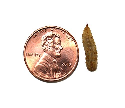 Phoenix Worms - Phoenix Worms (Large 100 Count)