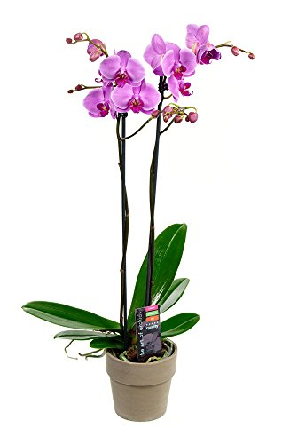KaBloom Live Orchid Plant Collection: Purple Phalaenopsis Orchid Plant (18-24 Inches Tall) (2 Stems) in a Grey Terracotta Pot by KaBloom