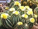 vegherb Parodia Magnifica, Rare Notocactus Exotic Eriocactus Succulent Cactus - 25 Seeds