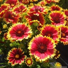 - Zoomy Far: GAILLARDIA Flower Seeds (AVG 50-100) Seeds X 8 Packet