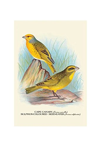 (Buyenlarge Cape Canary; Sulphur-Coloured Seed-Eater Print (Canvas Giclee 12x18))
