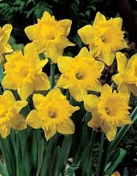 25 Quality Daffodil Bulbs - Marieke (Yellow) - Imported from Holland by Boekee's Nursery