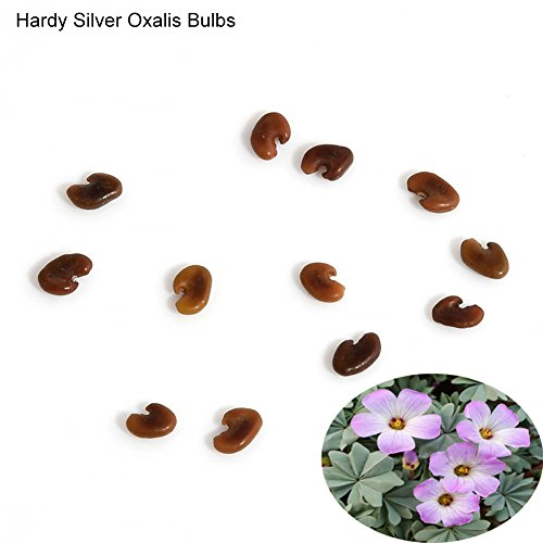 10 Pcs Shamrock Oxalis Triangularis Bulbs Easy to Plant Leaf Flower Seeds – Hardy Silver Oxalis Bulbs