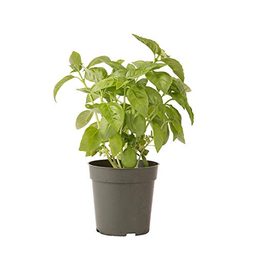 AMERICAN PLANT EXCHANGE Italian Basil Indoor/Outdoor Live, 1 Gallon, Cooking Spice by AMERICAN PLANT EXCHANGE