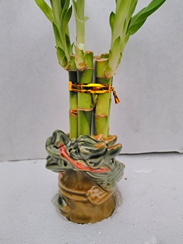 Jmbamboo - 6 Straight Lucky Bamboo with Dragon Design Vase 3.5 ''
