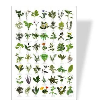 Amazon.com: Garden HERBS Poster - 56 HERB images: Posters & Prints