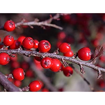 1 oz Seeds (Approx 2790 Seeds) of Cotoneaster horizontalis c.s, Rock Spray Ctooneaster, Quinceberry; Rock Cotoneaster; Cotoneaster davidiana : Garden & Outdoor