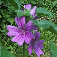 Just Seed - Flower - Malva sylvestris - Common Mallow - 200 Seeds