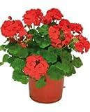 Geranio Rojo Planta Natural Pequeña Con Flor En Maceta - Planta Decorativa y Ornamental