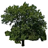 Gemeine Esche 50 Samen (Heimischer Baum - Winterhart) Lat : Fraxinus excelsior