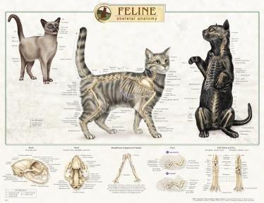 Feline Cat Skeletal System Anatomical Poster / Feline Cat Skeletal System Anatomical Poster