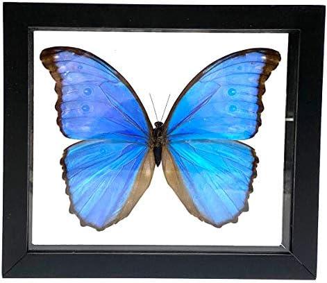 Butterfly Taxidermy Blue Morpho Morpho Menelaus Framed Butterfly Real Framed Butterfly Insect Taxidermy 2 Shadow Box- Blue Butterfly