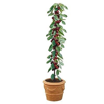 Cherry Tree Seeds - SYLVIA - Miniature Fruit Tree - PRUNUS - GMO FREE - 10 Seeds