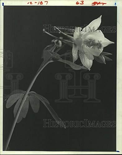 (Vintage Photos 1981 Press Photo Close up of Texas Hybrid Columbine Flower - hca41753)