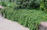 Classy Groundcovers, Rubus calycinoides R. pentalobus (25 Pots, 3 1/2 inches Square)