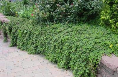Classy Groundcovers, Creeping Raspberry Creeping Bramble, Creeping Rubus, Crinkle-Leaf Creeper (25 Pots, 3 1/2 inches Square) by Classy Groundcovers