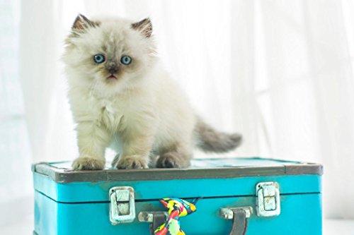 Himalayan Cat Art - Baby Himalayan Cat Standing on Vintage Suitcase Photo Art Print Poster 36x24 inch