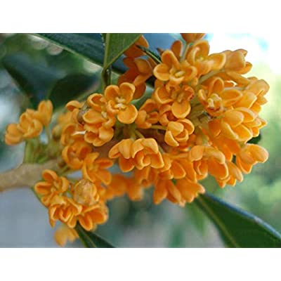PTN 5 Pcs Seed Fragrant Sweet Olive Tree Shrub Osmanthus Fragrans Orange - EB32 : Garden & Outdoor