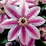 1 Hybrid 'Nelly Moser' Clematis Flower 2 year plant roots