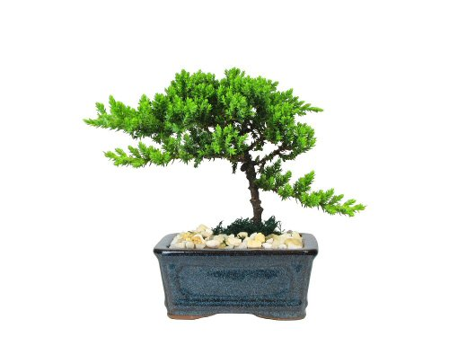 Old Container (Eve's Petite Japanese Juniper Bonsai Tree, 4 Years Old, Planted in 5 Inch Ceramic Container)
