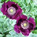 Laurens Grape Poppy 100 Seeds (Hemerocallis) Upc 647923988833