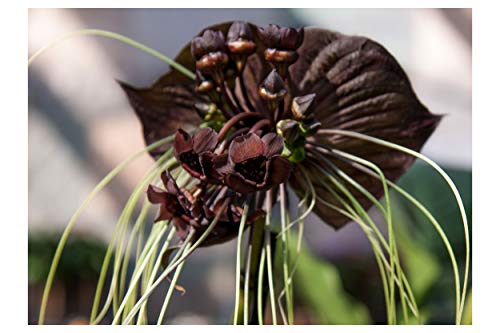5 seeds Black Bat Flower seeds Attracts Butterflies Rare Unique Brilliant White Color Sun or Shade Hummingbirds Love! Tacca chantrieri (Bat Flower Plant)