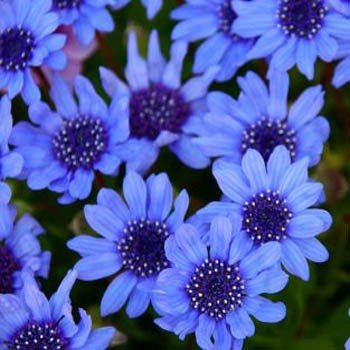 Outsidepride Blue Daisy - 1000 Seeds