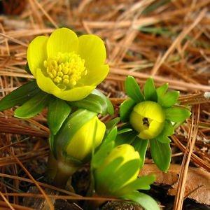 10 Winter Aconites Eranthis Hyemalis Early Spring Flowering Hardy